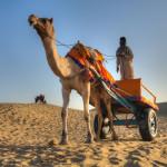 Rajasthan-Camel