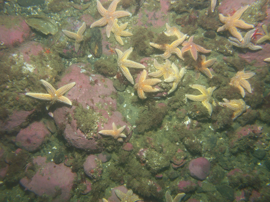 Seastars on Algae Covered Cobbles and Boulders