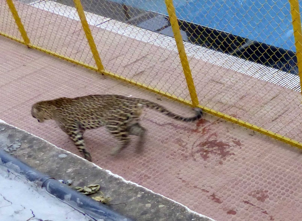 A leopard attacking a wildlife activist in a private school where it entered on Sunday after straying into Bengaluru from a nearby forest