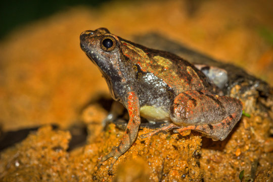An Indian researcher-led research team discovered thumbnail-sized species of a frog in Karnataka. (Photo: Ramit Singhal)