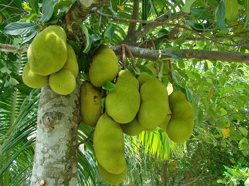 Jackfruit (Photo By Shahnoor Habib Munmun/Wikipedia)