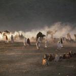Rajasthan-camel-dark