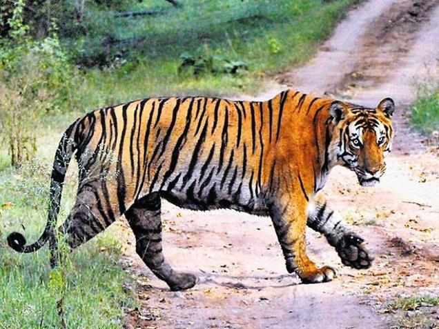 Indian tiger (Photo courtesy: The Hindu)