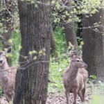Deer-Hangul_Foto_JT (6)