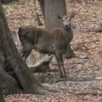 Deer-Kashmir