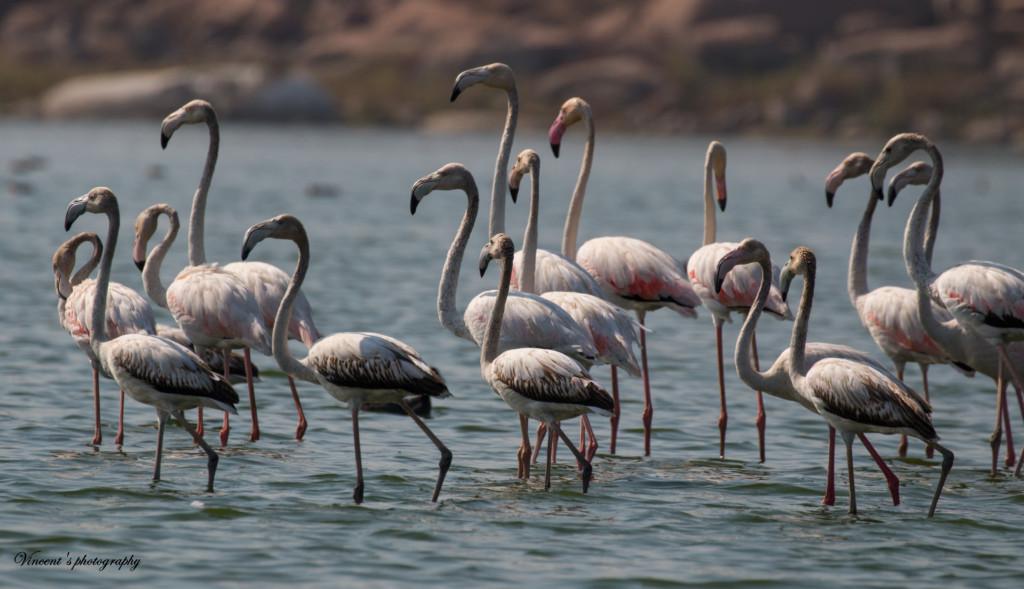 Drought in Telangana hits migratory birds
