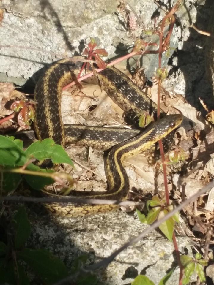 Snake-16