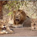 Gir lion-Gir_forest,junagadh,gujarat,india