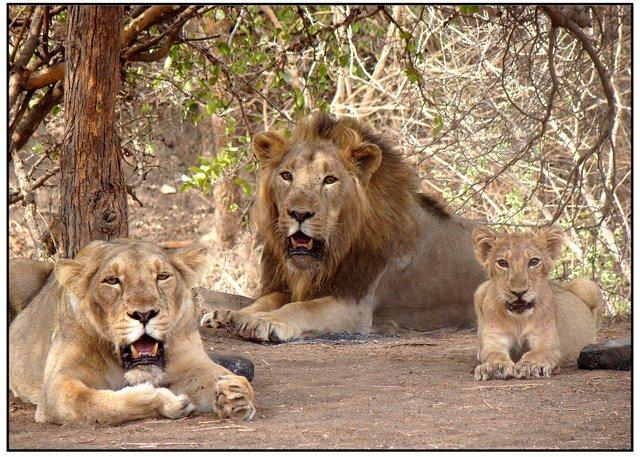 Gir Lions (Photo courtesy: Wikipedia)