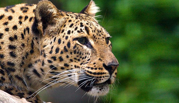 Leopard (File photo: Courtesy of San Diego Zoo)