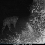 tigress-bw