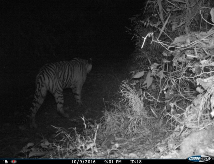 The man eater tigress as captured in one of the night sensor camera. It took over 40 days to track the tigress.