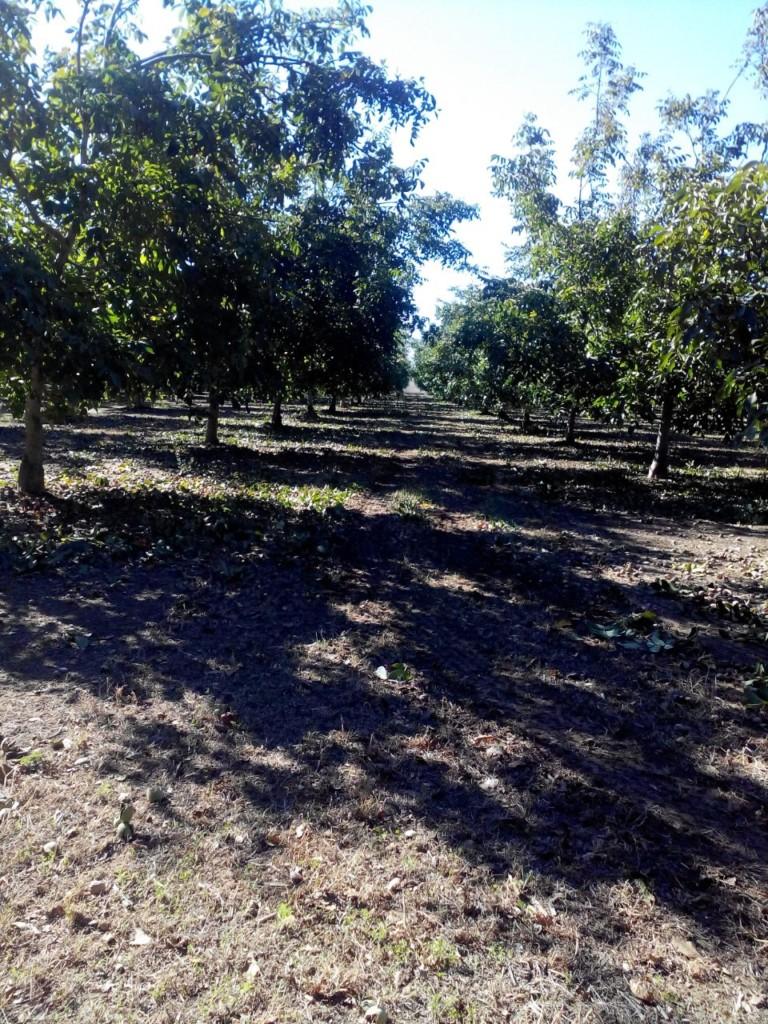walnuts-trees
