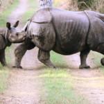 Dudhwa-rhino