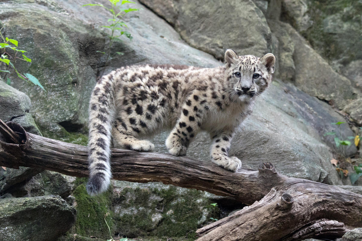 India Needs To Be More Transparent In Snow Leopard