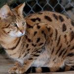 Bengal cat-The Wildcat Sanctuary