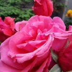 Rose-Fragrant Cloud