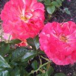 Rose-Frida Kalho