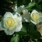 Rose-Moondance