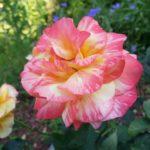 Rose-Rainbow Niagra