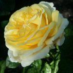 Rose-Romantica