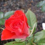 Rose-Smok 'n Hot