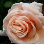 Rose-Tahitian Sun