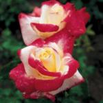Rose-Double Deight-JP
