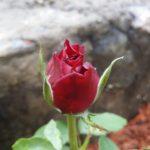 Rose-Opening Night