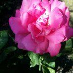 Rose-Perfume Delight-Mishra Garden