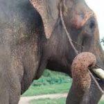 Elephant tool-ear