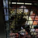 Leopard-IANS