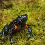 Frog-black